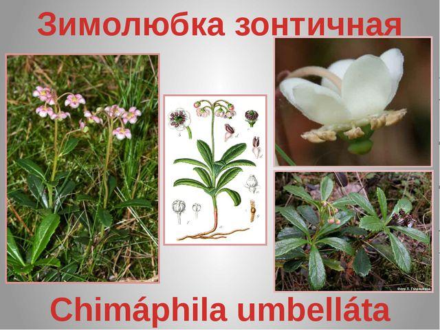 Зимолюбка зонтичная Chimáphila umbelláta