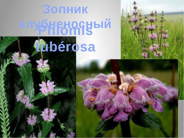 Зопник клубненосный Phlómis tubérosa