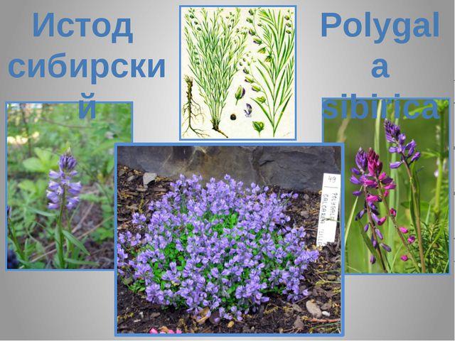 Истод сибирский Polygala sibirica Polygala sibirica