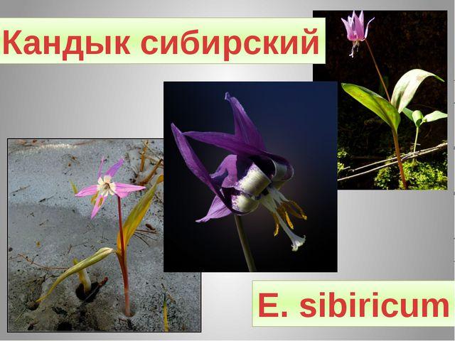 Кандык сибирский Е. sibiricum