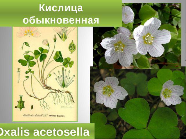 Кислица обыкновенная Oxalis acetosella