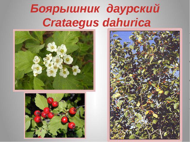 Боярышник даурский Crataegus dahurica