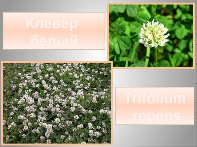 Клевер белый Trifolium repens