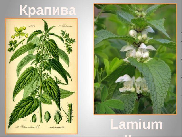 Крапива глухая Lamium album