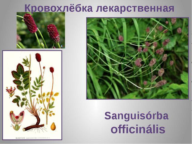 Кровохлёбка лекарственная Sanguisórba officinális