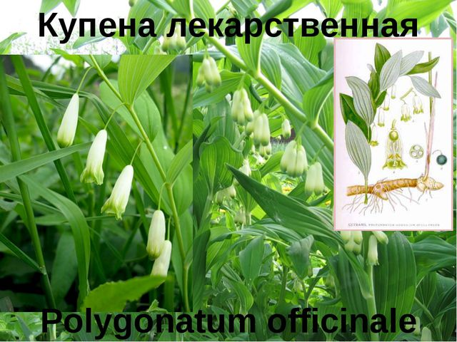 Купена лекарственная Polygonatum officinale