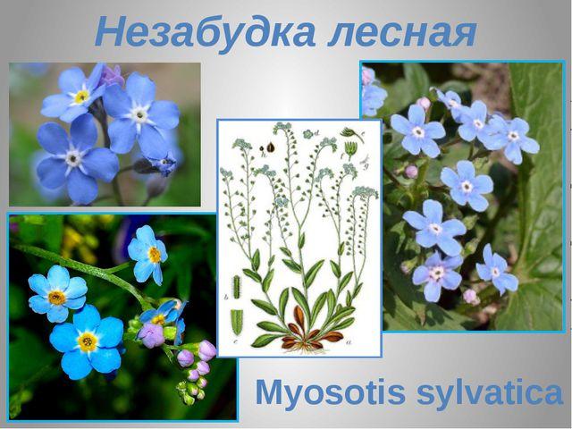 Незабудка лесная Myosotis sylvatica
