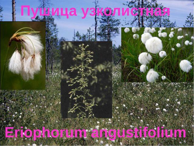 Пушица узколистная Eriophorum angustifolium