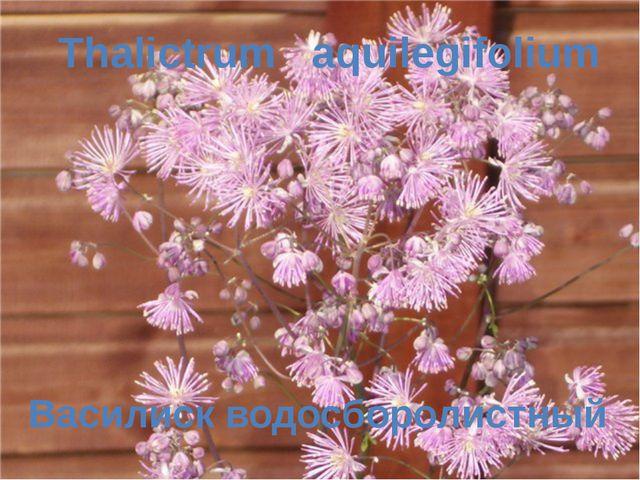 Василиск водосборолистный Thalictrum aquilegifolium