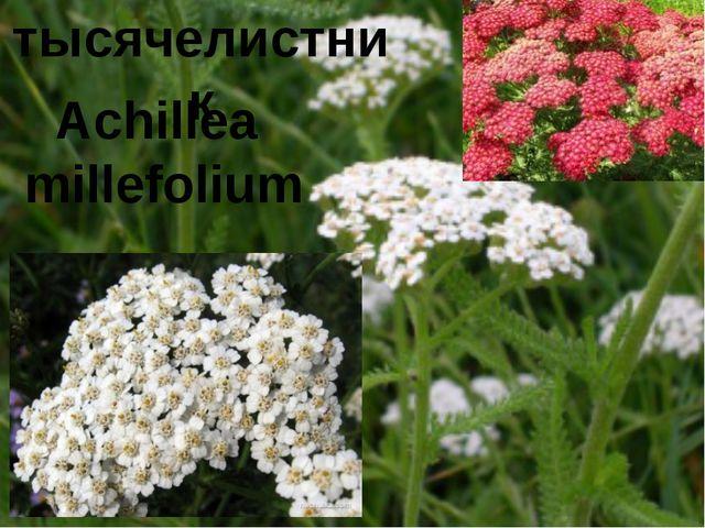 тысячелистник Achillea millefolium