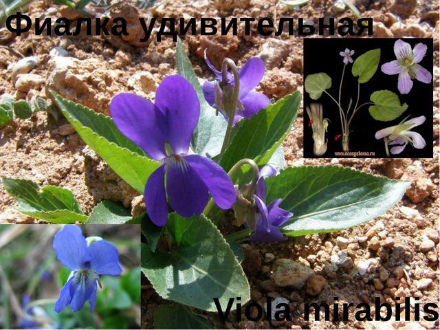Фиалка удивительная Viola mirabilis