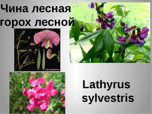 Чина лесная горох лесной Lathyrus sylvestris