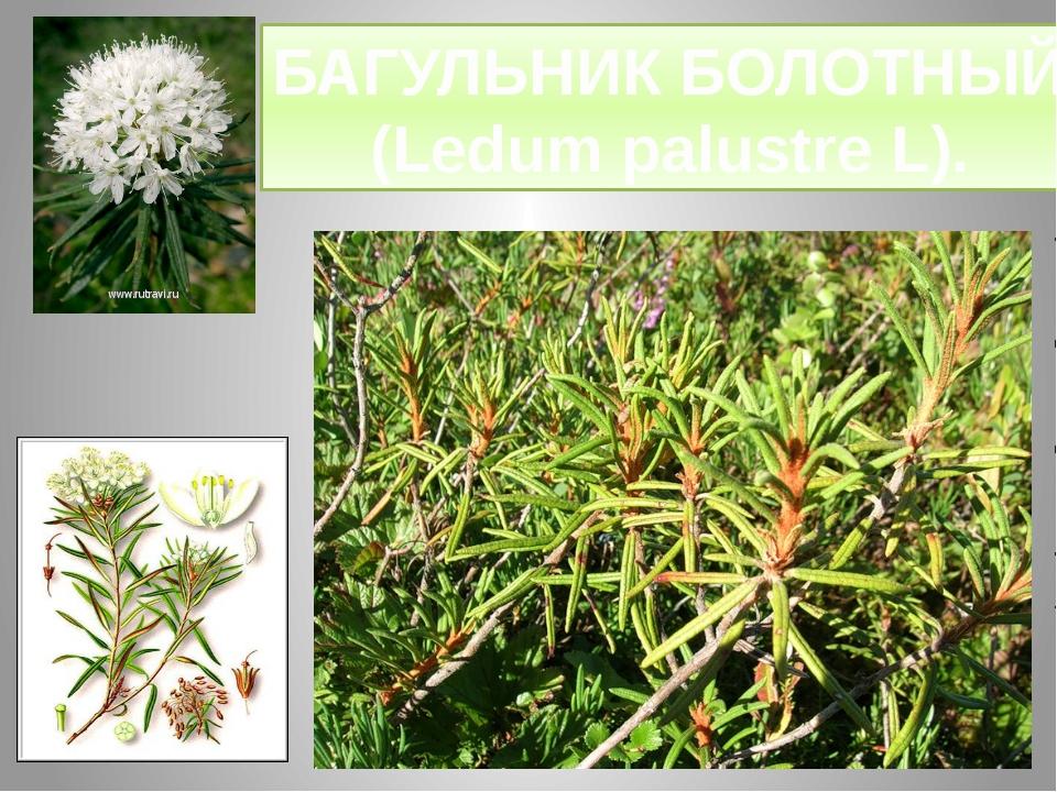 БАГУЛЬНИК БОЛОТНЫЙ (Ledum palustre L).