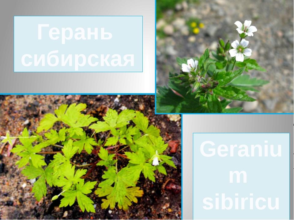 Герань сибирская Geranium sibiricum