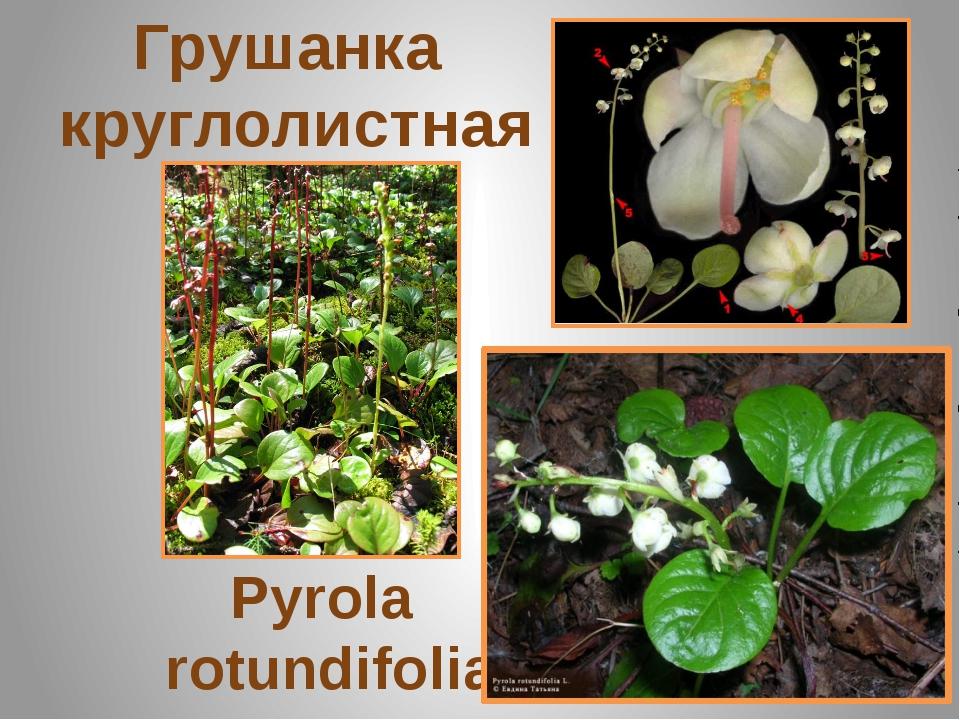 Грушанка круглолистная Pyrola rotundifolia