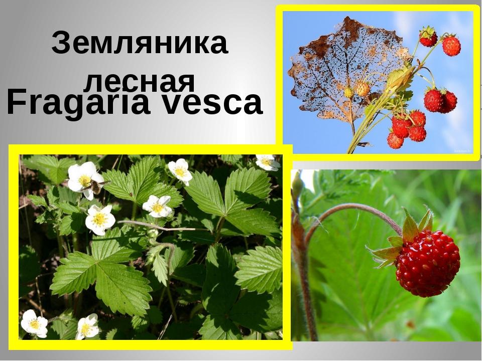 Земляника лесная Fragaria vesca