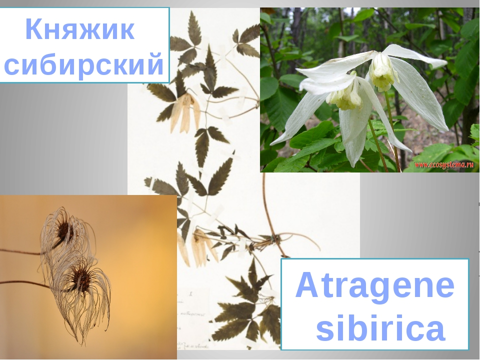 Княжик сибирский Atragene sibirica