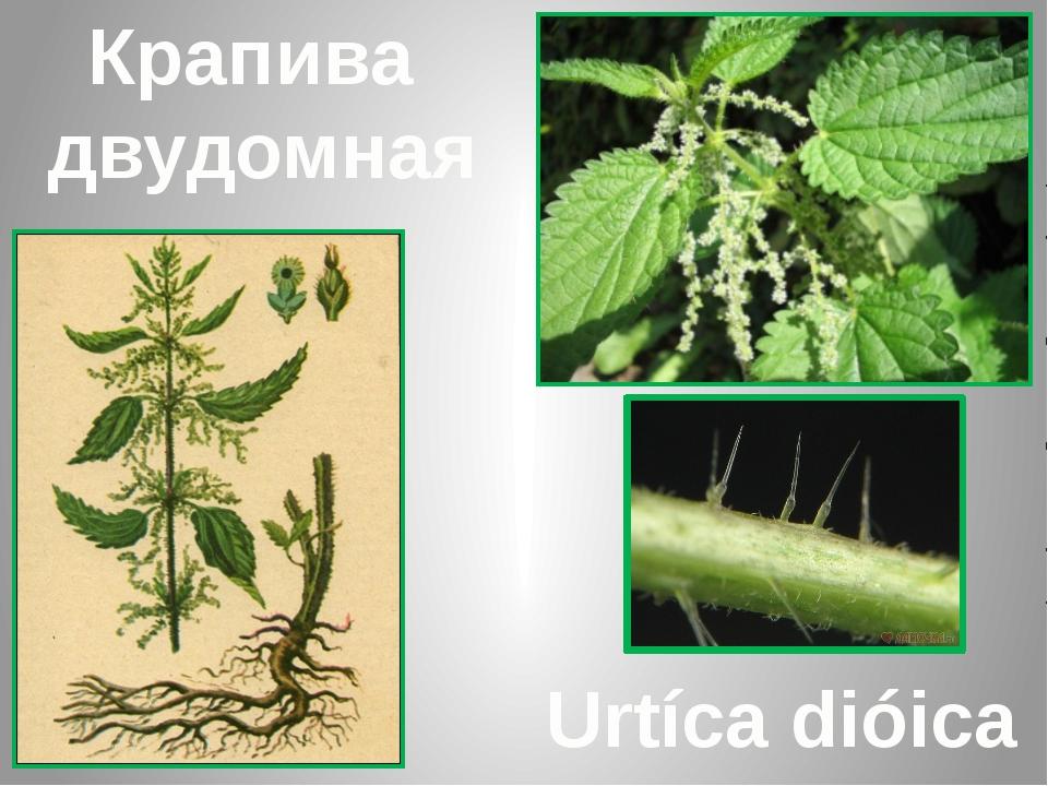 Крапива двудомная Urtíca dióica