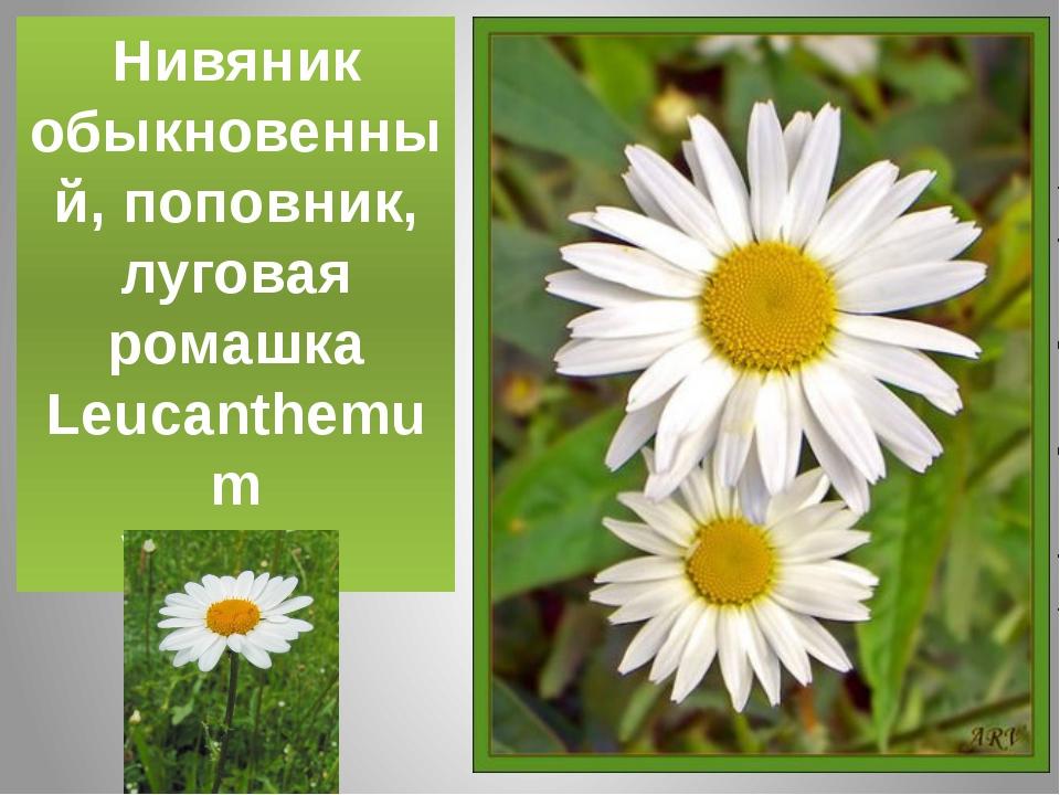 Нивяник обыкновенный, поповник, луговая ромашка Leucanthemum Vulgare