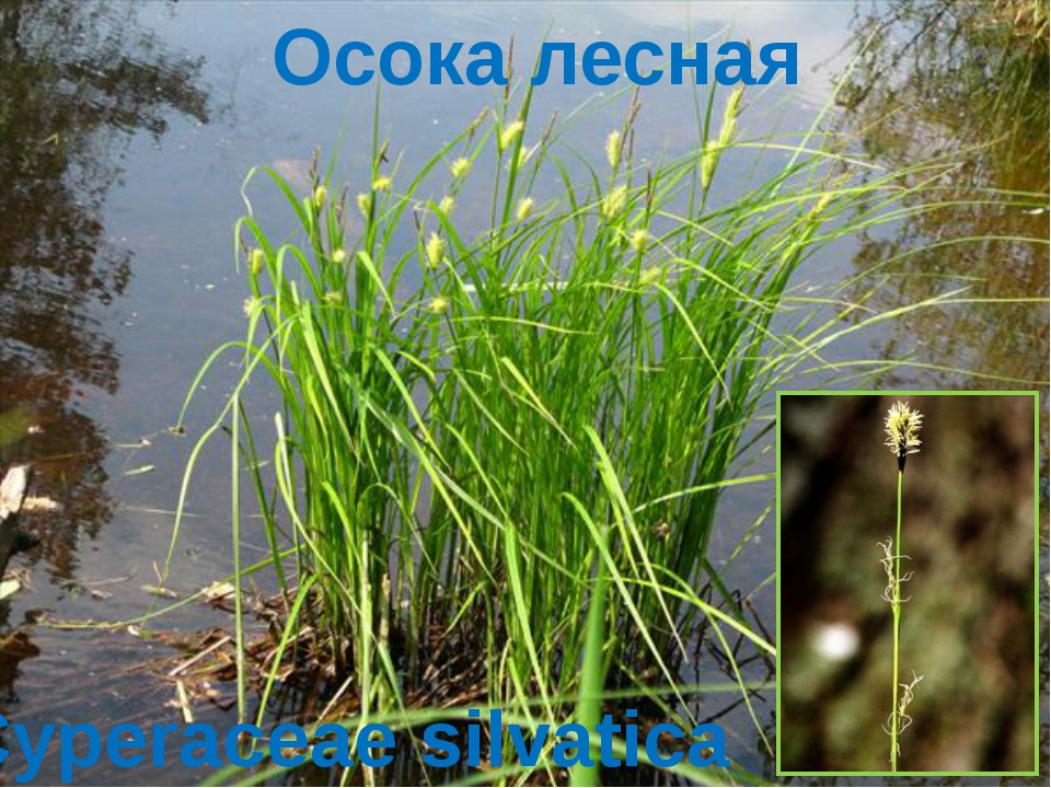 Осока лесная Cyperaceae silvatica