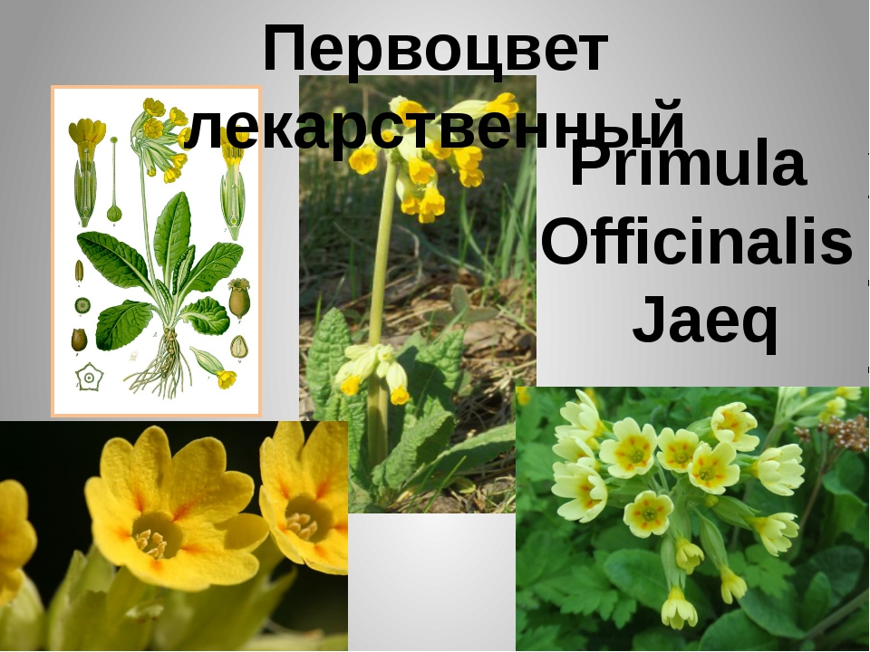 Первоцвет лекарственный Primula Officinalis Jaeq