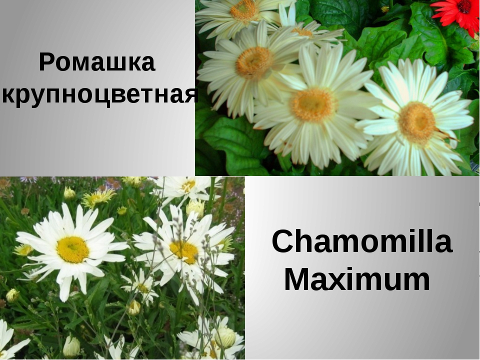 Ромашка крупноцветная Chamomilla Maximum