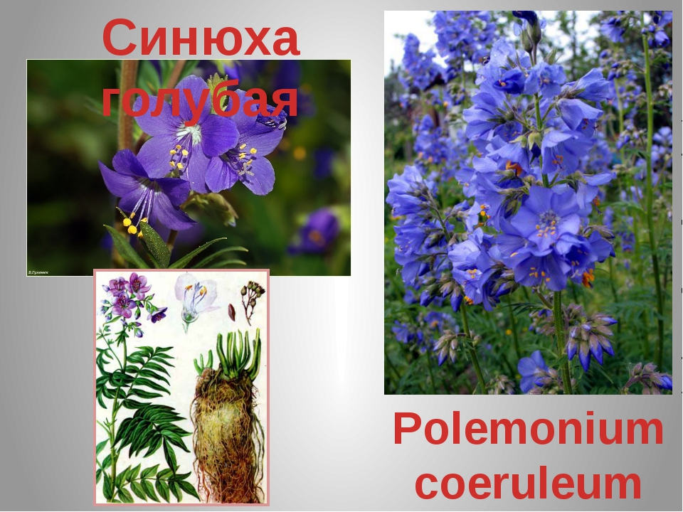 Синюха голубая Polemonium coeruleum
