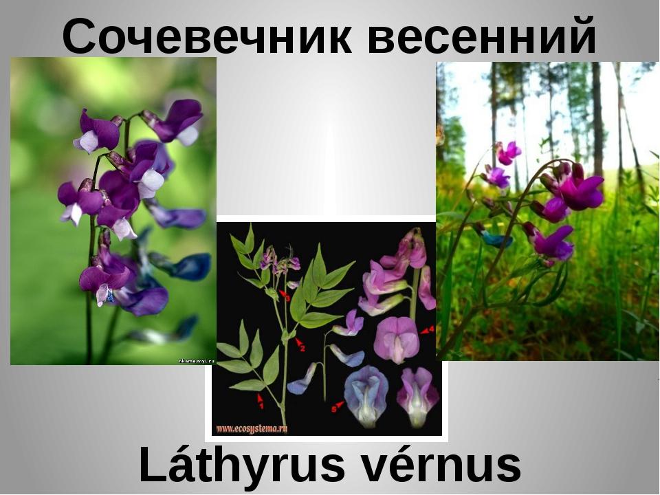 Сочевечник весенний Láthyrus vérnus