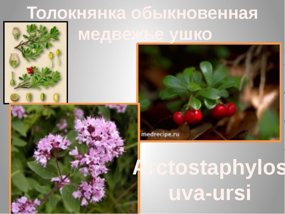 Толокнянка обыкновенная медвежье ушко Arctostaphylos uva-ursi