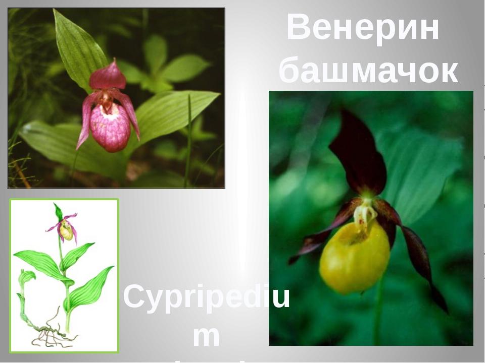 Венерин башмачок Cypripedium calceolus L.