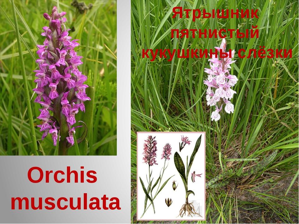 Ятрышник пятнистый кукушкины слёзки Orchis musculata