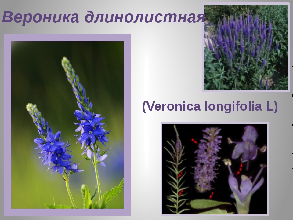 Вероника длинолистная (Veronica longifolia L)