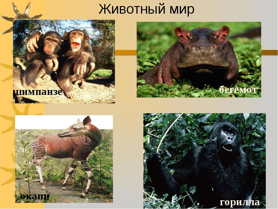 Животный мир шимпанзе окапи горилла бегемот