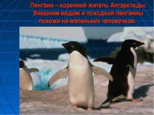 Пингвин – коренной житель Антарктиды. Внешним видом и походкой пингвины похо
