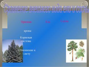 крона Корневая система Отношение к свету Признак Ель Сосна