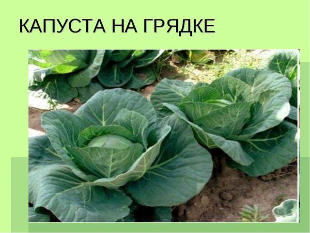 КАПУСТА НА ГРЯДКЕ
