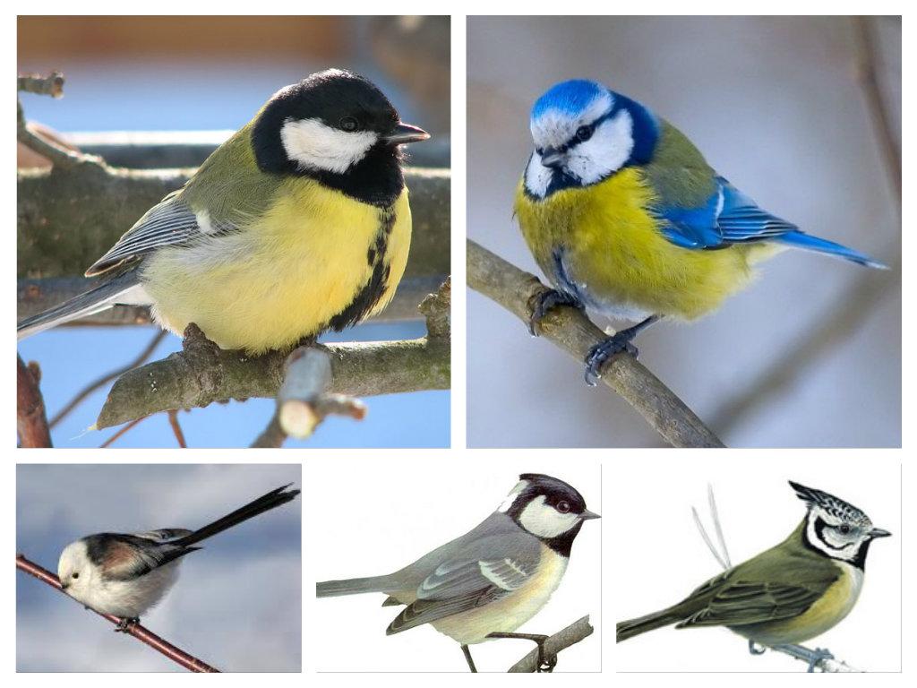 C:\Users\Olga\Desktop\СБОРНОЕ ДЕКАБРЬ 14\АНИМАШКИ. БЛОГ. САЙТ\ПРИРОДА\Птицы\Зимующие птицы\Виды синиц.jpg