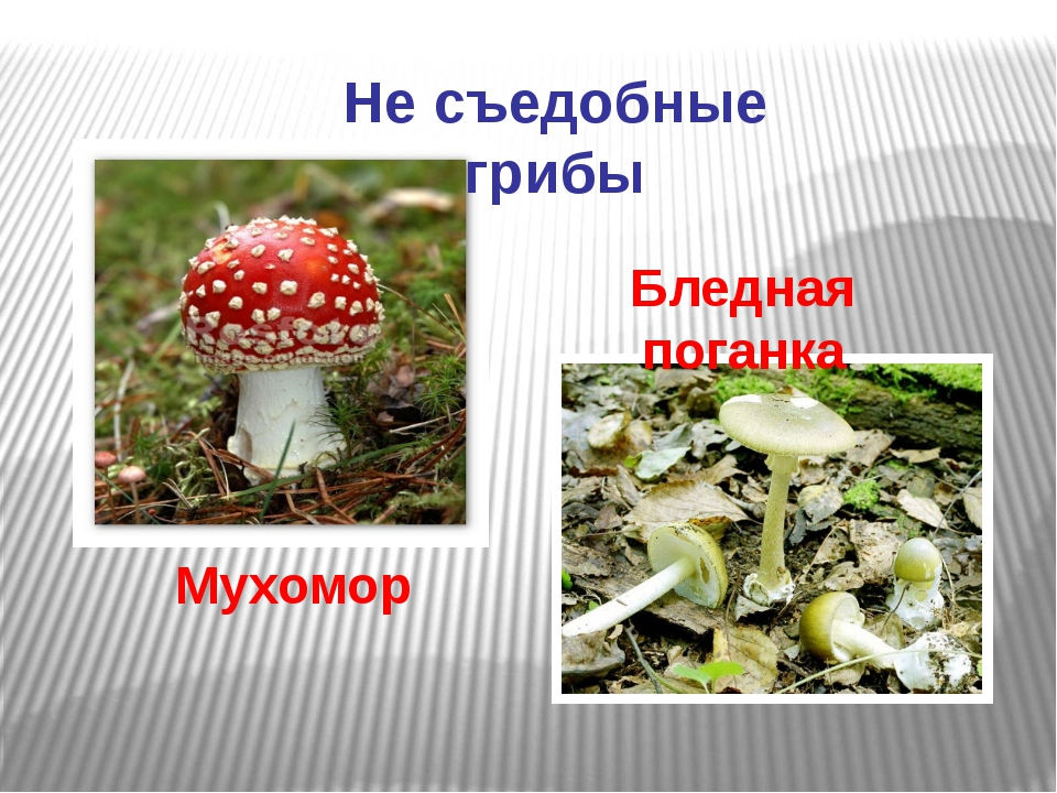 Не съедобные грибы Мухомор Бледная поганка
