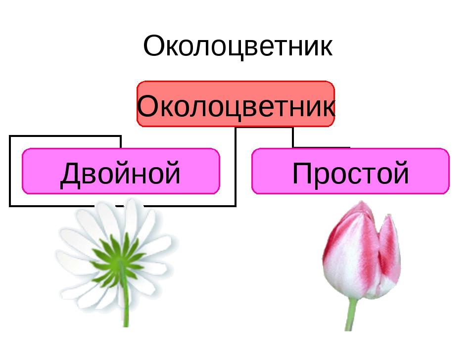 Околоцветник