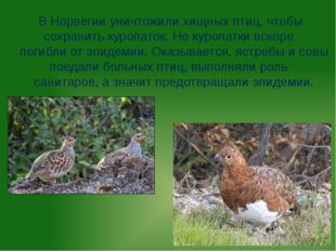 В Норвегии уничтожили хищных птиц, чтобы сохранить куропаток. Но куропатки вс