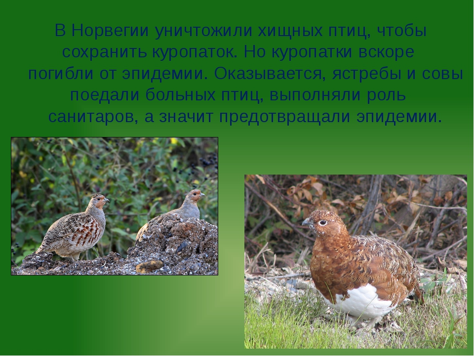 В Норвегии уничтожили хищных птиц, чтобы сохранить куропаток. Но куропатки вс...