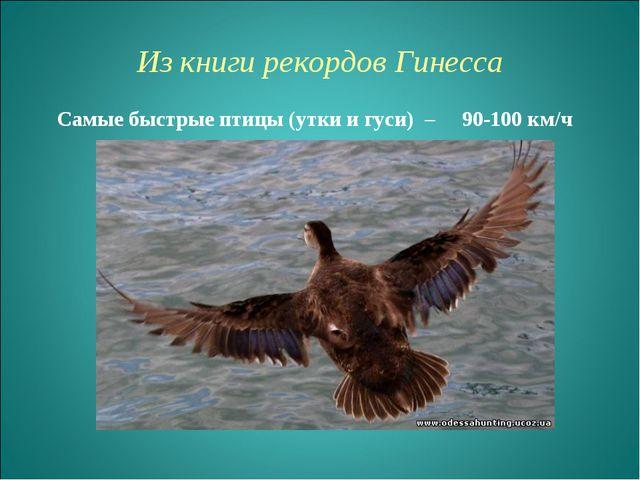 Из книги рекордов Гинесcа Самые быстрые птицы (утки и гуси) – 90-100 км/ч