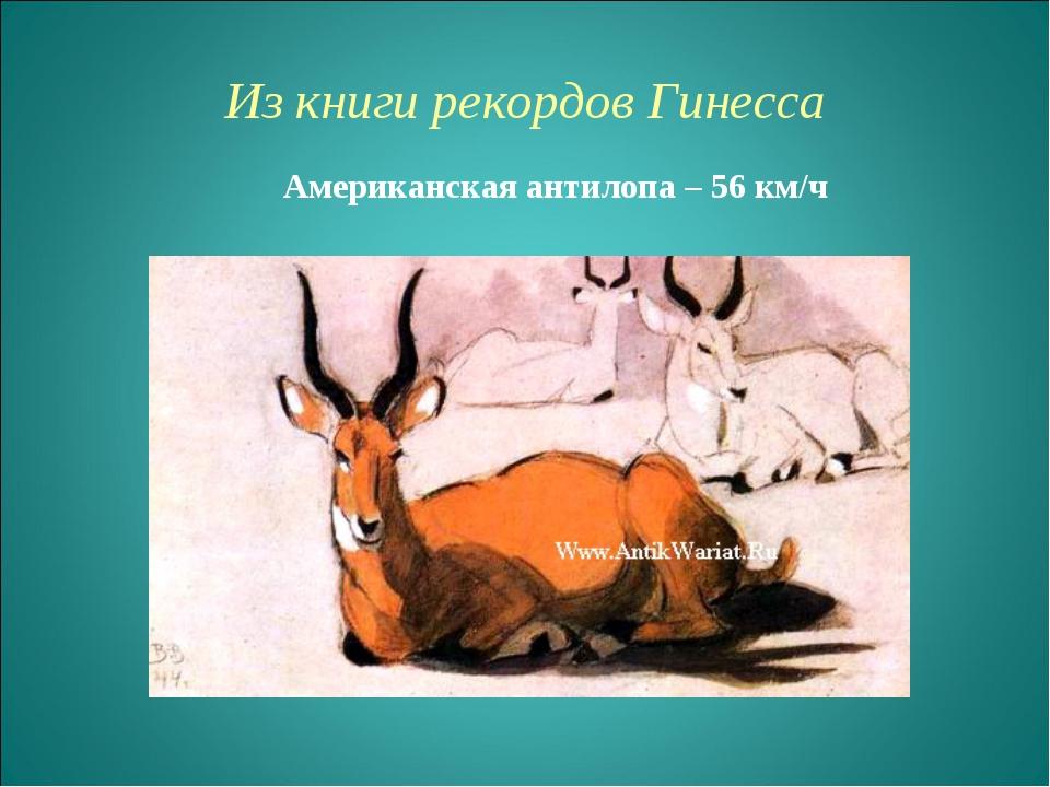 Из книги рекордов Гинесcа Американская антилопа – 56 км/ч