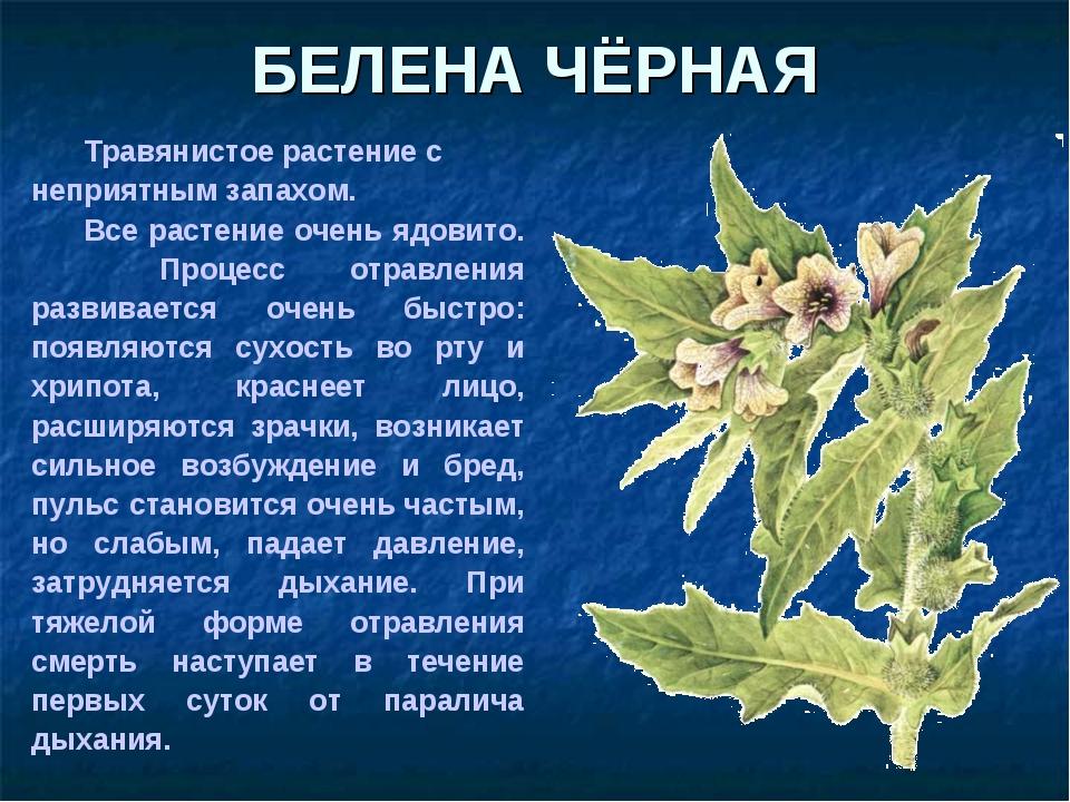 Травянистое растение с неприятным запахом. Все растение очень ядовито. Проц...
