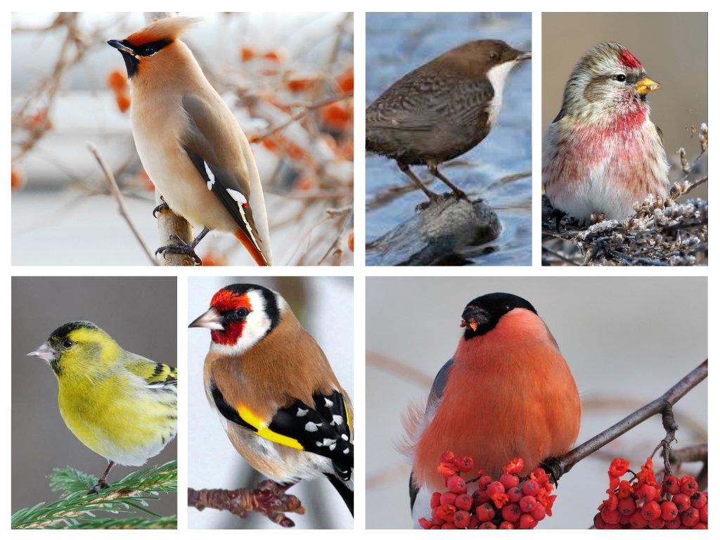 C:\Users\Olga\Desktop\СБОРНОЕ ДЕКАБРЬ 14\АНИМАШКИ. БЛОГ. САЙТ\ПРИРОДА\Птицы\Зимующие птицы\Зимующие птицы.jpg