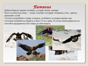Добыча беркута мыши-полёвки, суслики,белки,лисицы. Часто охотится на птиц
