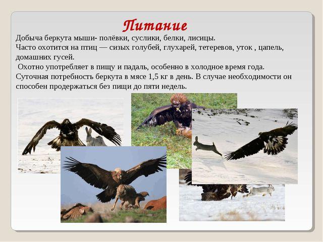 Добыча беркута мыши-полёвки, суслики,белки,лисицы. Часто охотится на птиц...