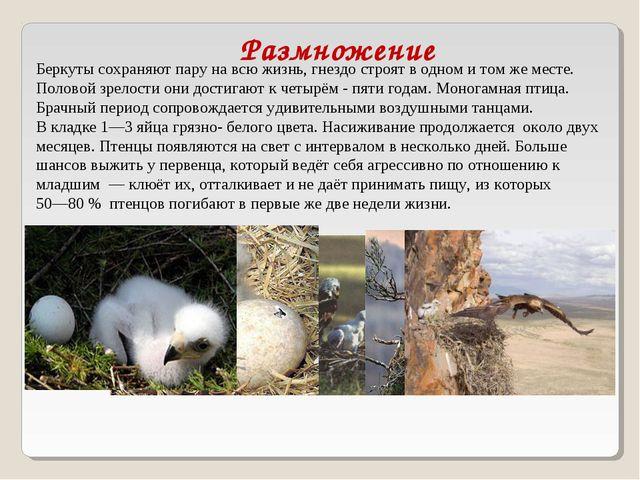 Размножение Беркуты сохраняют пару на всю жизнь, гнездо строят в одном и том...