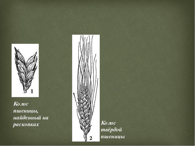 Колос пшеницы, найденный на раскопках Колос твёрдой пшеницы