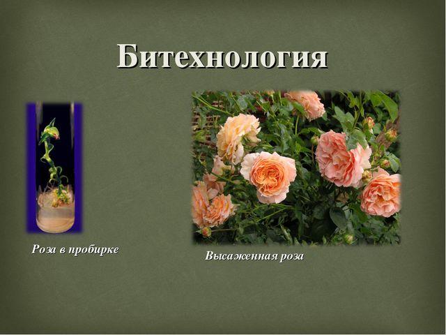 Битехнология Роза в пробирке Высаженная роза